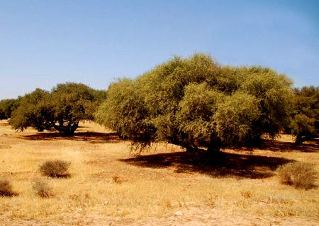 800px-plantation_arganier_luc_viatour.jpg
