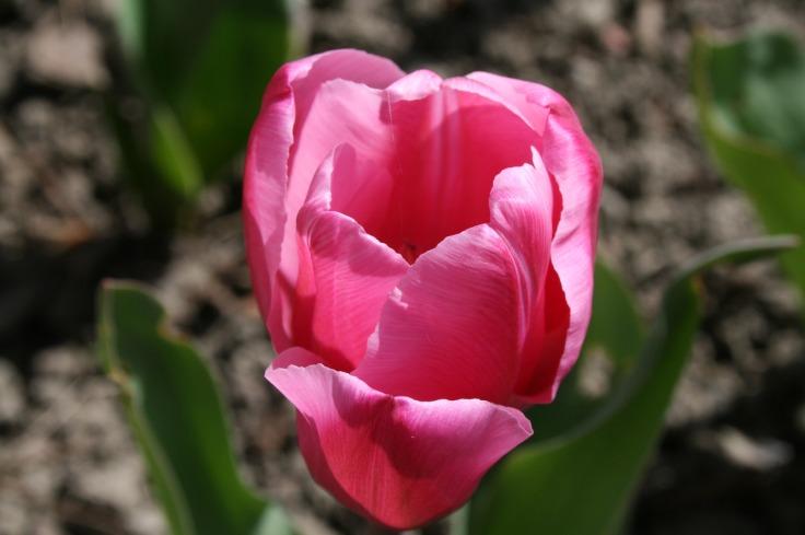 tulipe-rose-2