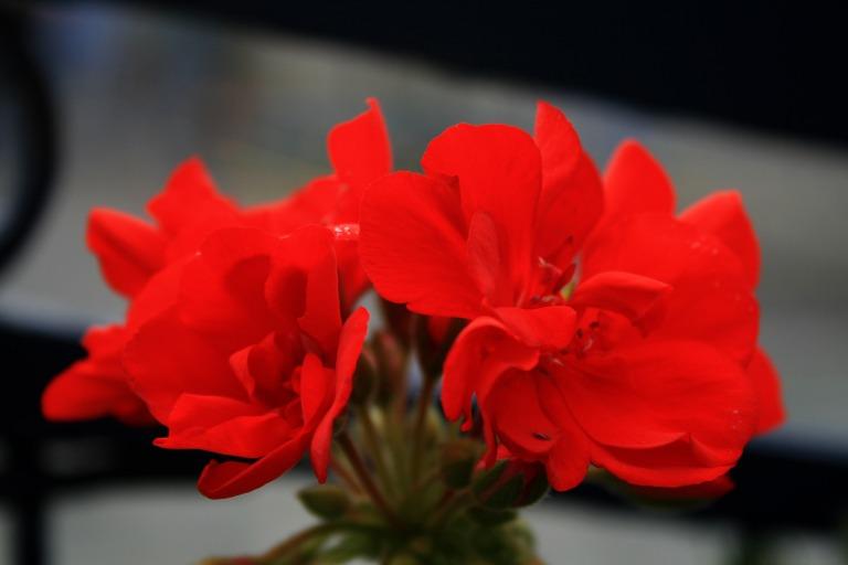 geranium02