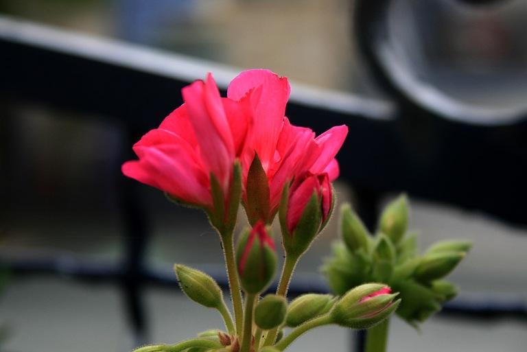geranium03