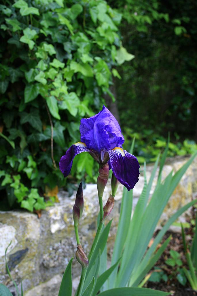 iris01