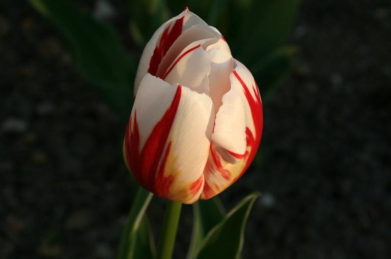 tulipe_coucher_soleil01