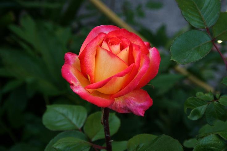 Rose01_1024