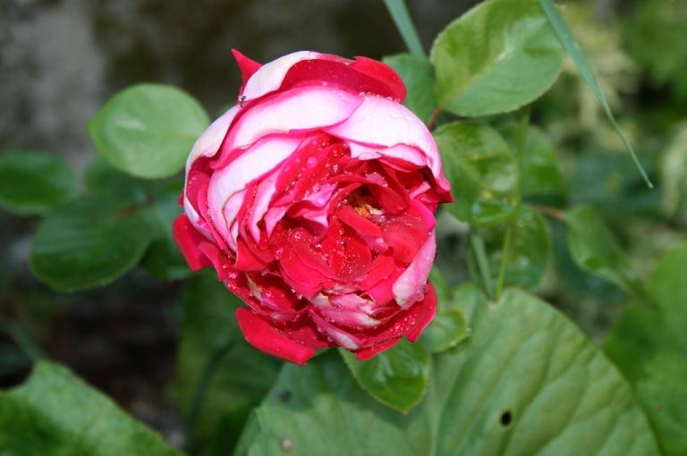 Rose02_1024
