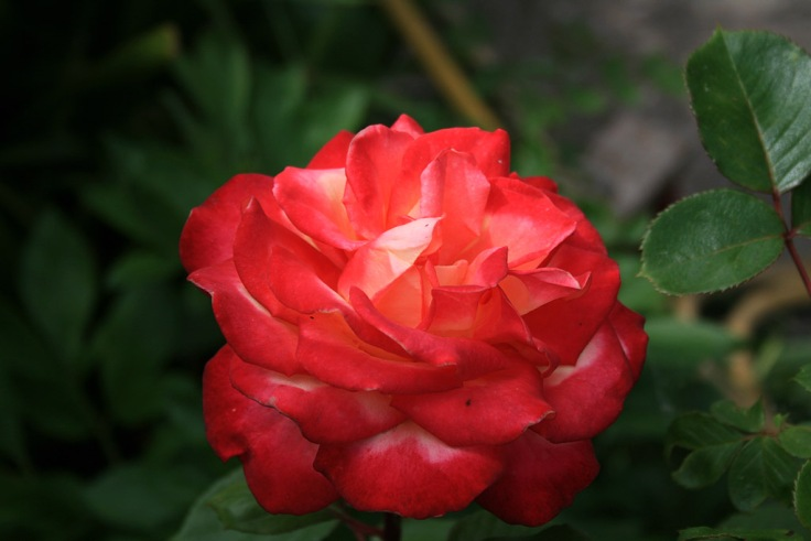 rose_04_1024