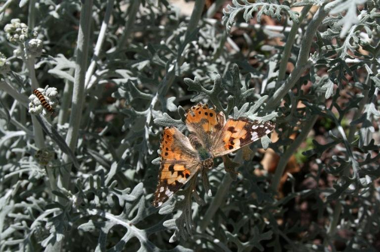 papillon_03_1024