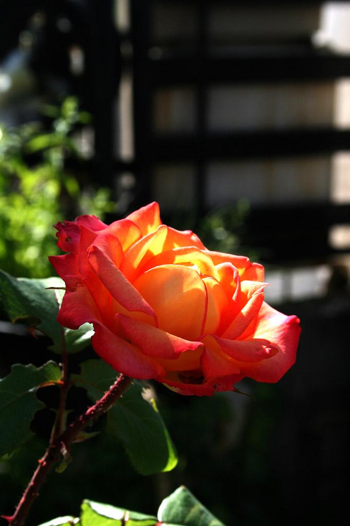 remontee_roses_02_1024