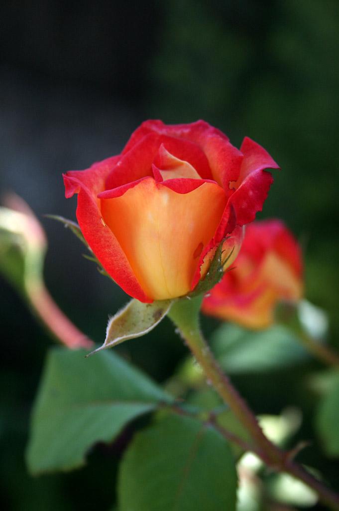 remontee_roses_03_1024