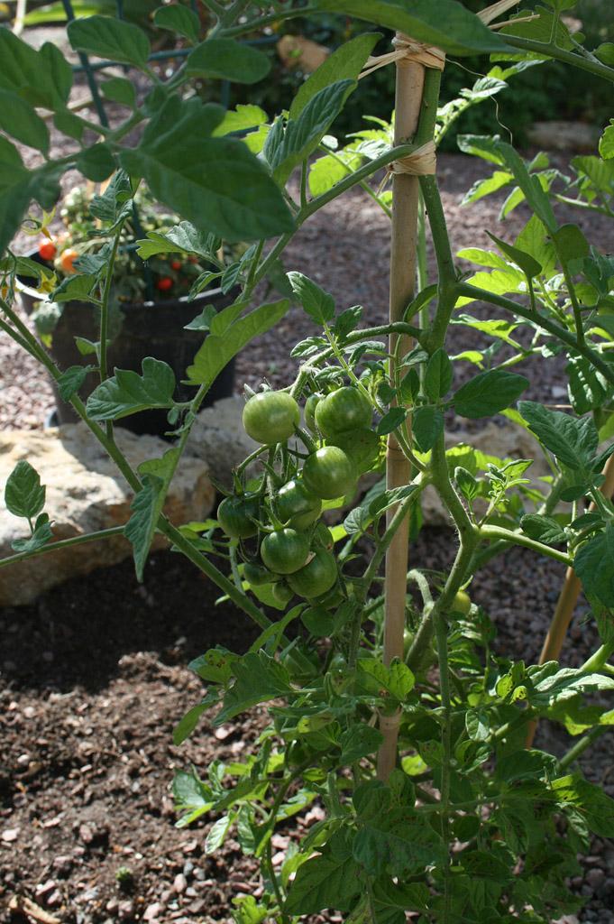 tomates_cerises01_1024