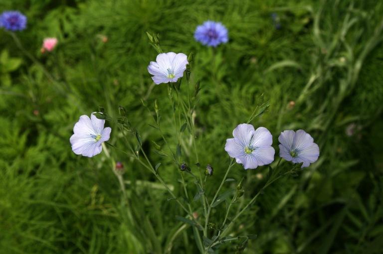 fleurs_de_lin_02_1024
