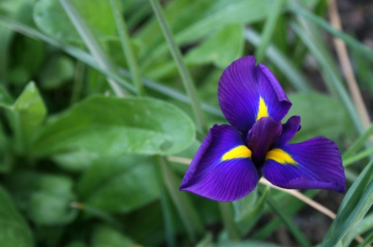 iris_violet_02_1024