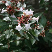 Un bel arbuste : l'Abelia grandiflora