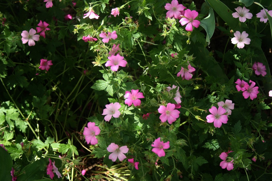 geranium_vivace_0101