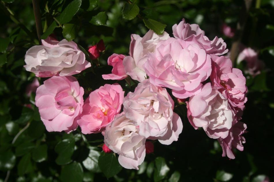 roses_roses_0101