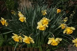 Gerbe de narcisses jaunes - Photo Marie Sophie Bock Digne