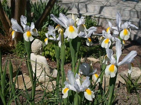 Les iris de Hollande
