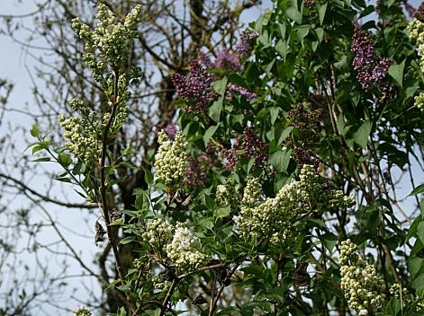 Lilas blanc et lilas mauve
