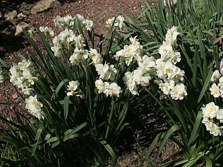 Dans mon jardin...les narcisses