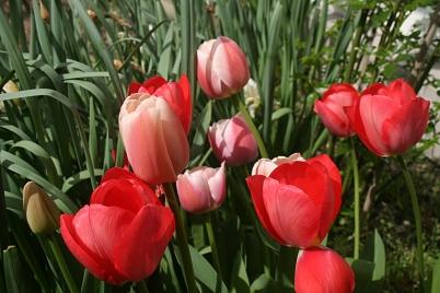 les tulipes du 1er avril – mes ailleurs
