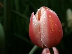 tulipes_pluie_02