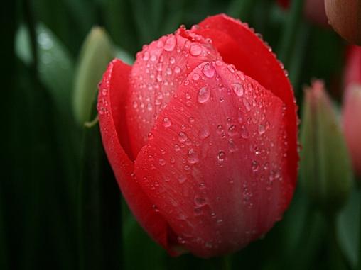 tulipes_pluie_03