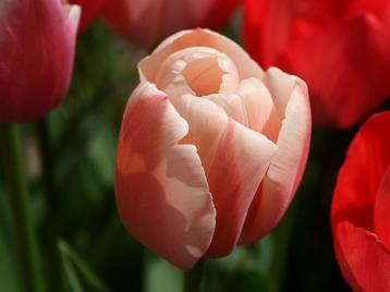 tulipes_soleil_01