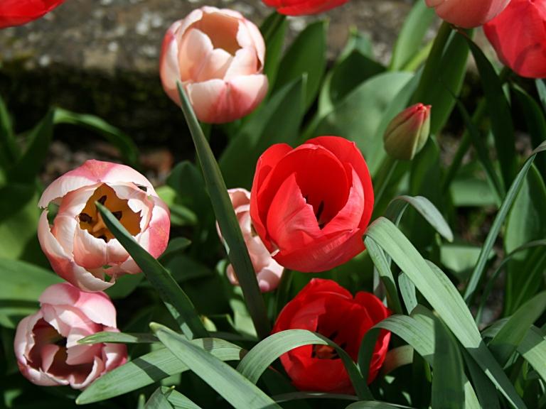 Tulipes au soleil