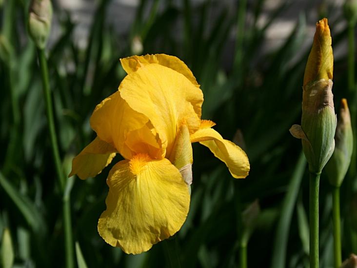 Le jaune des iris de jardin - Photo Marie-Sophie Bock-Digne - mai 2015