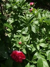 pivoines herbacees 01