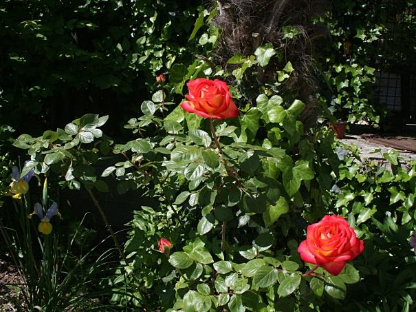 Les premières roses du vieux rosier - Photo Marie-Sophie Bock-Digne (Kazamarie)