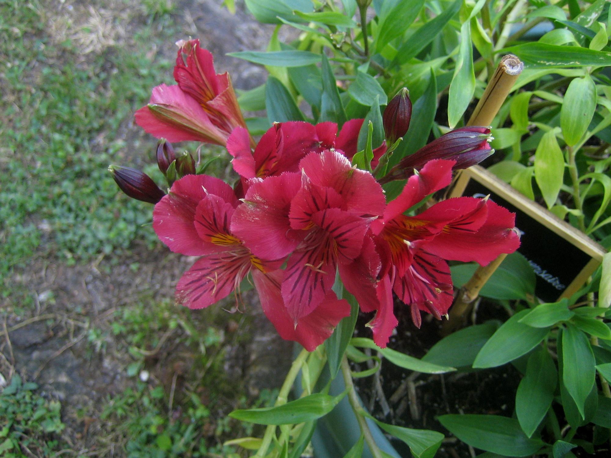 Lys des incas ou alstroemeria fleur de la f licit mes ailleurs - Peinture qui ne coule pas ...