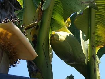 Baba-figue sur un second bananier - 7 juin 2015 - Photo Marie-Sophie Bock-Digne (Kazamarie)