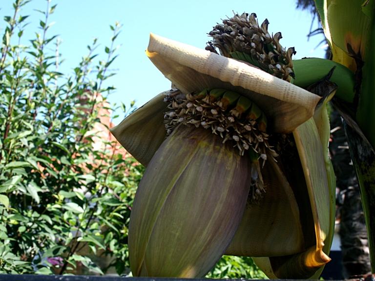 Régime de banane dans mon jardin - Vendée - Marais Poitevin - France - Photo Marie-Sophie Bock-Digne - juin 2015