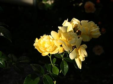 Rosier arbuste jaune - juin 2015 - Photo Marie-Sophie Bock-Digne (Kazamarie)