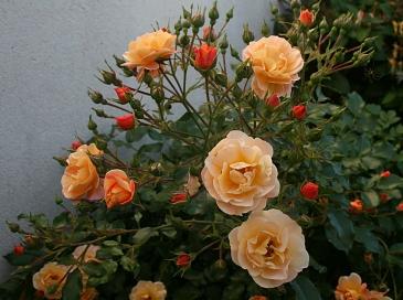 Rosier arbuste orange - juin 2015 - Photo Marie-Sophie Bock-Digne (Kazamarie)