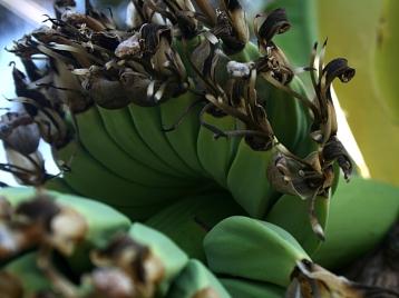 Petites banane du Baba-figue sur le bananier de mon jardin : une main avec des fleurs - Photo Marie-Sophie Bock-Digne - 5 juin 2015