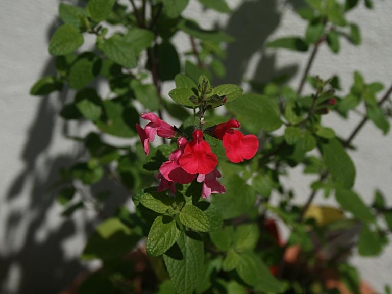 Sauge (Salvia grahamii) fleurs rouge écarlate - Photo Marie-Sophie Bock Digne (Kazamarie)