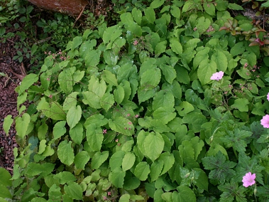 Epimedium - Photo MS Bock-Digne, mai 2016