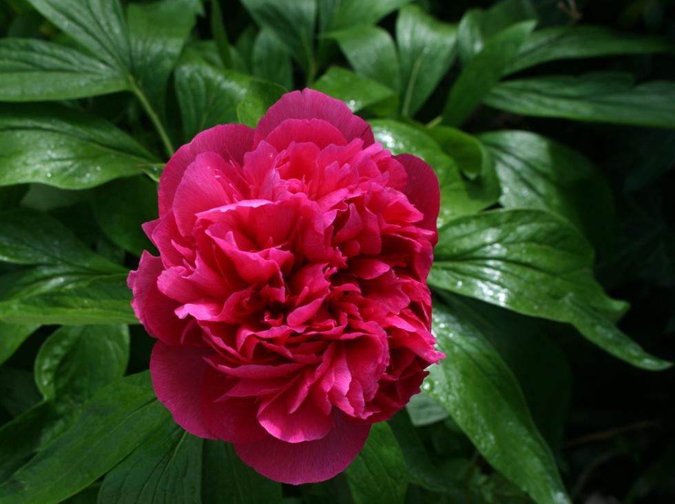 Pivoine herbacée - Photarie-Sophie Bock-Digne pour Mes Ailleurs - Mai 2016