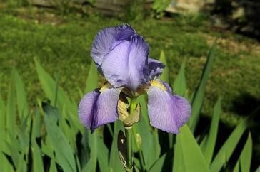 Iris mauve des jardins, Photo Marie-Sophie Bock-Digne
