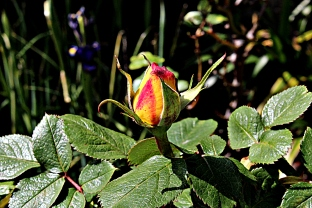 rose_ancienne_01