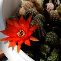Les cactus en fleurs... une merveille de la nature !