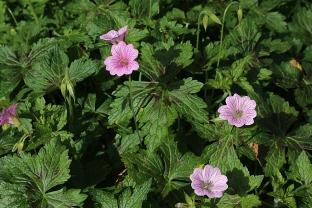 Fleurs de géranium vivace