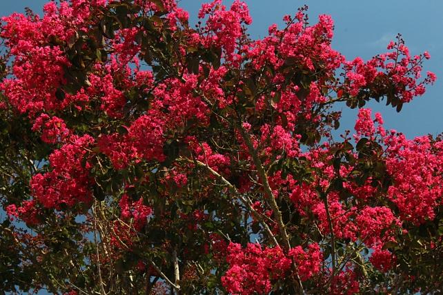 Lilas des Indes (Photo M.S. Bock Digne fin juillet 2018) L'abondance de sess fleurs rend le feuillage invisible...