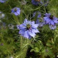 Les fleurs que j'aimais et que je vais planter dans le nouveau jardin...