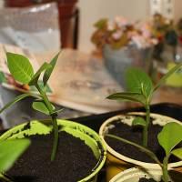 """Semer et faire pousser des graines de frangipanier (""""Plumeria"""") dans une véranda"""